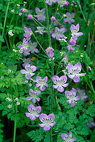 Large-flowered tonella and chervil<br />
