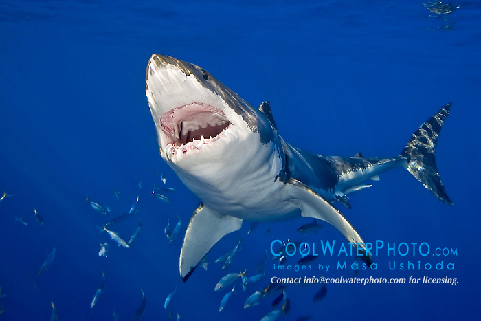 great white shark, Carcharodon carcharias, with open jaw, Guadalupe Island, Mexico, Pacific Ocean