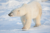 01874-11910 Polar Bear (Ursus maritimus) in snow, Churchill Wildlife Management Area, Churchill, MB Canada