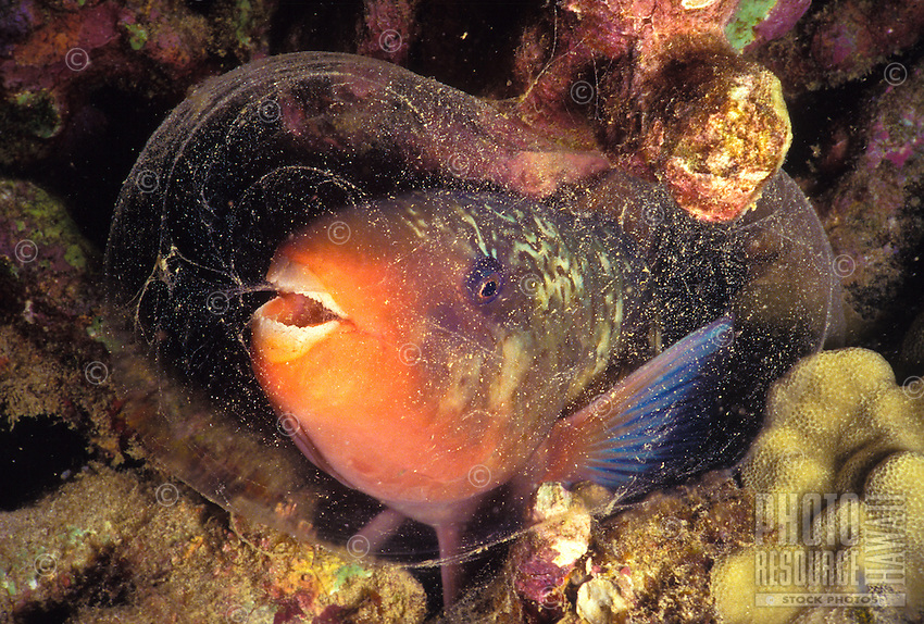 A female Bullethead Parrotfish (Scarus sordidus) sleeps among the coral reef surrounded by its own secreted mucous cocoon. A form of protection from predation.  It's hawaiian name is Uhu.