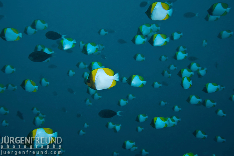 Schooling Pyramid butterflyfish (Hemitaurichthys polylepis) in the blue.