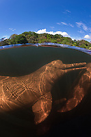 RB1458-D. Amazon River Dolphins (Inia geoffrensis), also called Boto or Pink River Dolphin. Split &ldquo;over under&rdquo; view. Rio Negro, Brazil, South America.<br /> Photo Copyright &copy; Brandon Cole. All rights reserved worldwide.  www.brandoncole.com