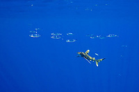 pompano dolphin or pompano dolphinfish, Coryphaena equiselis, and Oceanic Whitetip Shark, Carcharhinus longimanus, with a Pilot Fish, Naucrates ductor, off Kona, Big Island, Hawaii, Pacific Ocean