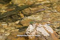 06468-001.02 Westfall's Snaketail (Ophiogomphus westfalli) male in stream,  Crawford Co., MO