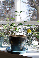 A dwarf Meyer lemon tree will grow in a container indoors in the winter, giving a welcome bit of the tropics even in snowy locales