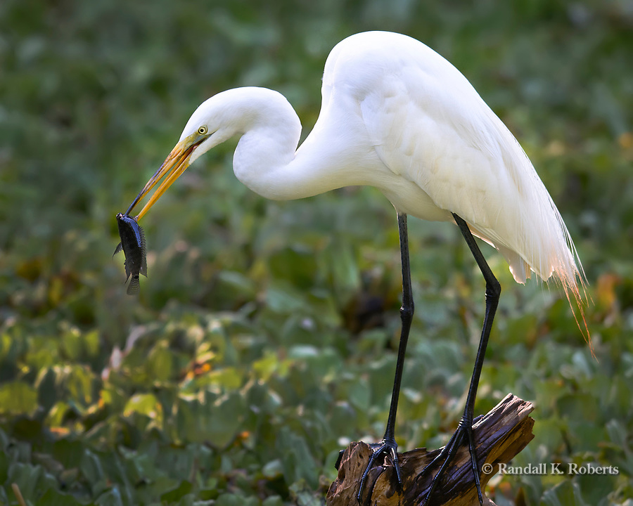 Snowy egret eats fish, Audubon Corkscrew Swamp Sanctuary, Flordia
