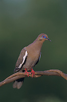 White-winged Dove, Zenaida asiatica,adult, Lake Corpus Christi, Texas, USA, May 2003