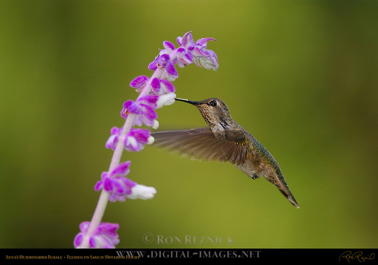 Anna's Hummingbird Female, Feeding on Sage in Hovering Flight, Southern California