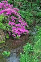 ORPTC_D104 - USA, Oregon, Portland, Crystal Springs Rhododendron Garden, Azalea in bloom along small creek.
