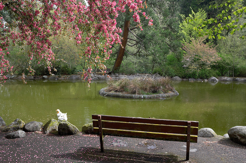 Pond, bench, blooming tree and geese in pond at Lithia Park, Ashland, Oregon