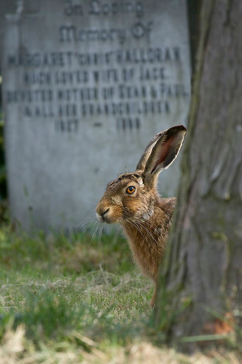 A Brown hare (Lepus europaeus) in a cemetery.  England.