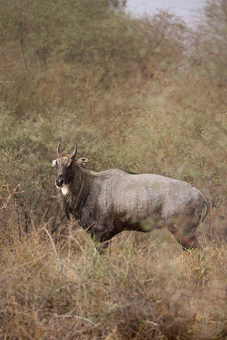 A wild Male/Bull Cow in the Thar Desert Rajasthan, India