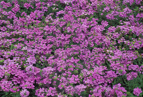 Purple Verbena Verbenia bonariensis, blooming in profusion