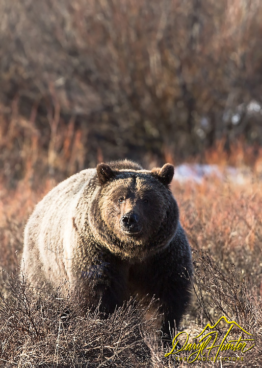 Grizzly Bear, Grand Teton National Park. This is a young boar named Bernie Bear, one of the cubs of Grizzly #610. I have been photographing this bear since he weighed 25 pounds. That was a long time ago