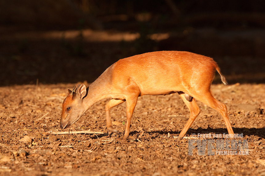 Red Forest Duiker (Cephalophus natalensis)...Among the Sycamore fig trees, the Red Duiker searches for the fallen fruits of these trees...Ndumo Game Reserve..Kwazulu-Natal, South Africa.