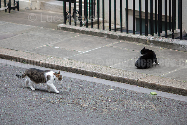 The Downing Street's Battle: Larry (10 Downing Street cat and Chief Mouser to the Cabinet Office) Vs Palmerston (Foreign &amp; Commonwealth Office Cat anf Chief Mouser).<br />
