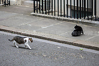 The Downing Street's Battle: Larry (10 Downing Street cat and Chief Mouser to the Cabinet Office) Vs Palmerston (Foreign &amp; Commonwealth Office Cat anf Chief Mouser).<br /> <br /> London, 12/06/2017. Today, Theresa May's reshuffled Cabinet met at 10 Downing Street after the General Election of the 8 June 2017. Philip Hammond MP - not present in the photos - was confirmed as Chancellor of the Exchequer. <br /> After 5 years of the Coalition Government (Conservatives &amp; Liberal Democrats) led by the Conservative Party leader David Cameron, and one year of David Cameron's Government (Who resigned after the Brexit victory at the EU Referendum held in 2016), British people voted in the following way: the Conservative Party gained 318 seats (42.4% - 13,667,213 votes &ndash; 12 seats less than 2015), Labour Party 262 seats (40,0% - 12,874,985 votes &ndash; 30 seats more then 2015); Scottish National Party, SNP 35 seats (3,0% - 977,569 votes &ndash; 21 seats less than 2015); Liberal Democrats 12 seats (7,4% - 2,371,772 votes &ndash; 4 seats more than 2015); Democratic Unionist Party 10 seats (0,9% - 292,316 votes &ndash; 2 seats more than 2015); Sinn Fein 7 seats (0,8% - 238,915 votes &ndash; 3 seats more than 2015); Plaid Cymru 4 seats (0,5% - 164,466 votes &ndash; 1 seat more than 2015); Green Party 1 seat (1,6% - 525,371votes &ndash; Same seat of 2015); UKIP 0 seat (1.8% - 593,852 votes); others 1 seat. <br /> The definitive turn out of the election was 68.7%, 2% higher than the 2015.<br /> <br /> For more info about the election result click here: http://bbc.in/2qVyNRd &amp; http://bit.ly/2s9ob51<br /> <br /> For more info about the Cabinet Ministers click here: https://goo.gl/wmRYRd