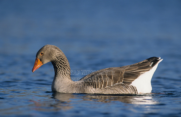 Greylag Goose, Anser anser,adult, New Braunfels, Texas, USA, March 2001