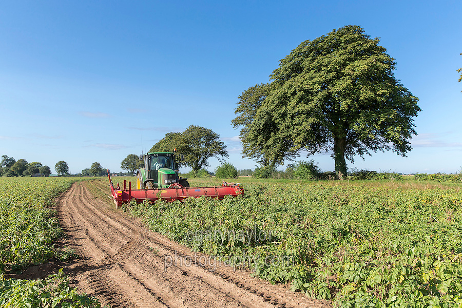 Agria potatoes flailed ready for harvest - Lincolnshire, August