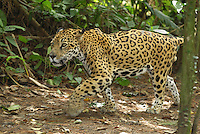 Jaguar (Panthera onca), walking, Belize