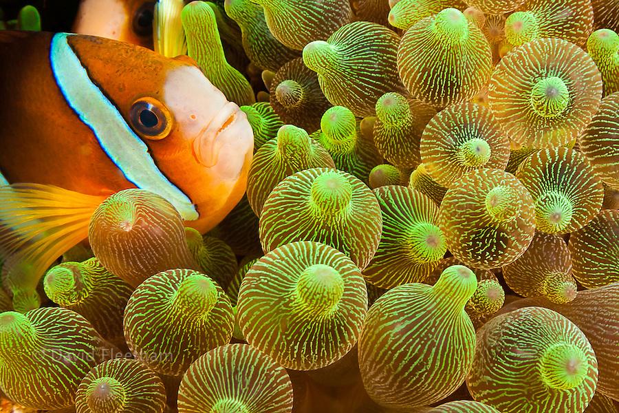 Clark's anemonefish, Amphiprion clarkii, in sea anemone, Entacmaea quadricolor, Komodo, Indonesia.