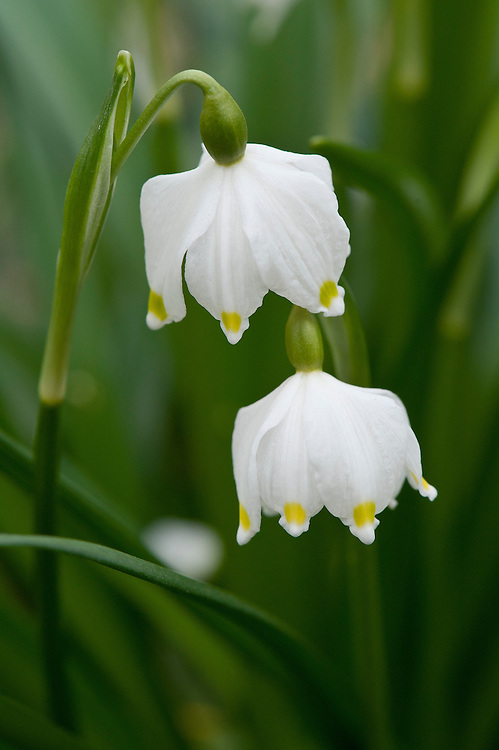 Spring snowflake (Leucojum vernum var. carpathicum), late February. Carpathicum has yellow-tipped tepals instead of the usual green.