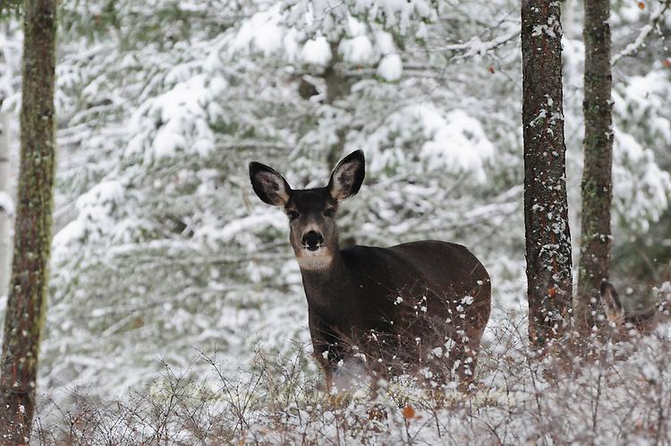 Montana Mule Deer in winter snow.