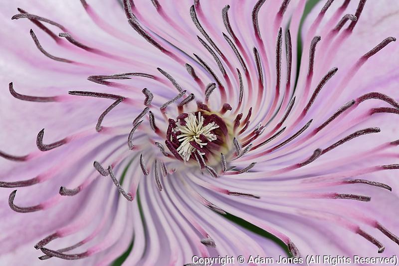 Close-up of clematis flower, Schreiner Iris Gardens, Salem, Oregon