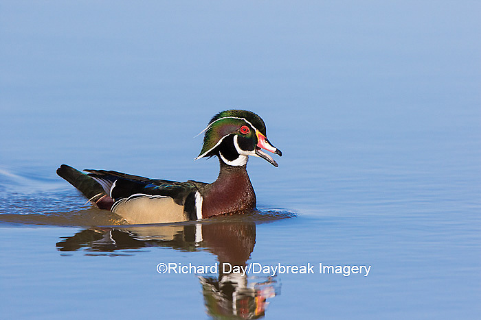 00715-08718 Wood Duck (Aix sponsa) male in wetland,  Marion County, IL