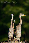 Great Blue Heron (Ardea herodias) three large chicks on nest, New York, USA