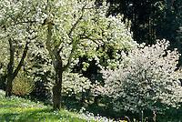 Germany, Baden-Wurttemberg: landscape at Black Forest, blooming cherry trees | Deutschland, Baden-Wuerttemberg, Schwarzwald: Landschaft im Ortenaukreis, bluehende Kirschbaeume