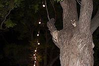 A brushtail possum enjoys the lights in Adelaide's Parklands.