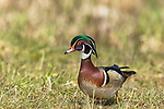 Drake wood duck walking in a field