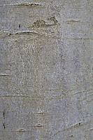 Buche, Rot-Buche, Rotbuche, Rinde, Borke, Stamm, Baumstamm, Fagus sylvatica, Common Beech, European beech, beech, bark, rind, trunk, stem, Le hêtre commun