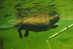 beaver swimming, Portland
