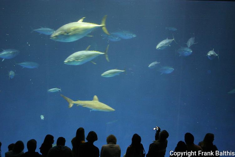 visitors, tuna and Great White Shark