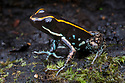 Lovely Poison Frog {Phyllobates lugubris}Central Caribbean foothills, Costa Rica. May.