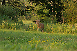 White-tailed buck in July