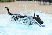 NWA Media/ANDY SHUPE - Henry, a dog owned by Shanthi Steddum, reaches to catch a tennis ball while playing in the pool during the second Soggy Doggy Swim Party Saturday, Aug. 23, 2014, at the Prairie Grove Aquatic Park. The Friends of the Prairie Grove Pound hosted the event as a fundraiser for the facility. Visit nwamedia.photoshelter.com to see more photographs.