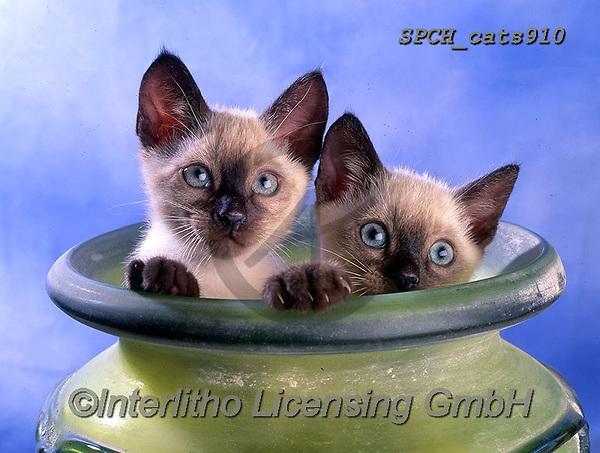 Xavier, ANIMALS, REALISTISCHE TIERE, ANIMALES REALISTICOS, cats, photos+++++,SPCHCATS910,#a#, EVERYDAY