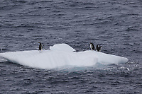 Chinstrap Penguins Pygoscelis antarcticus and Gentoo penguins Pygoscelis papua resting on Ice floe, Weddel sea Southern Ocean, Antarctica