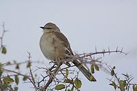 Northern Mockingbird seen on a winter day in southern Arizona.
