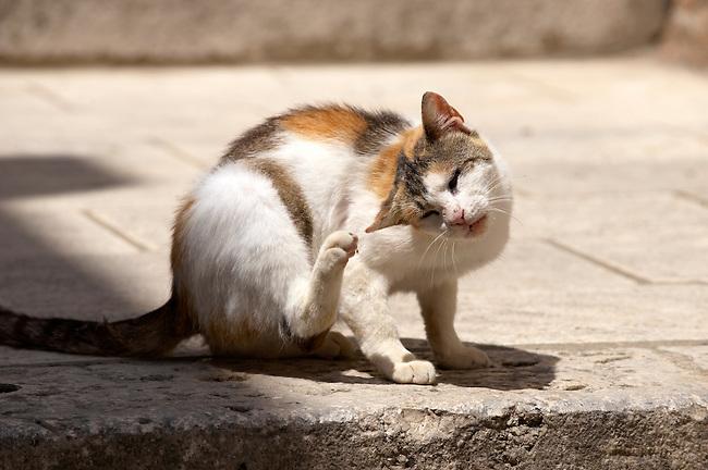 Stock photos of Street cat scratching itself - Dubrovnik - Croatia