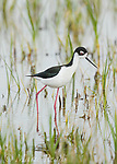 Black-necked Stilt (Himantopus mexicanus), adult male in breeding plumage, Bear River Migratory Bird Refuge, Utah, USA