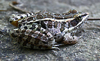 Southern Leopard Frog, Eno River State Park, near Durham, NC, August 2009.  (Photo by Brian  Cleary/www.bcpix.com)