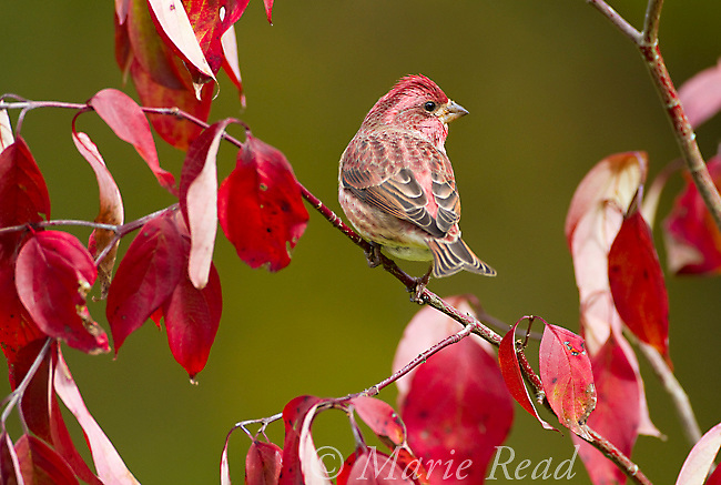 Purple Finch (Carpodacus purpureus) male perched amid fall leaves, New York, USA