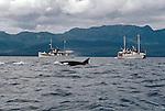 Alaska, Southeast Alaska, Orca whale, yacht, small ship cruises