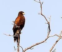 Harris's hawk adult in tree