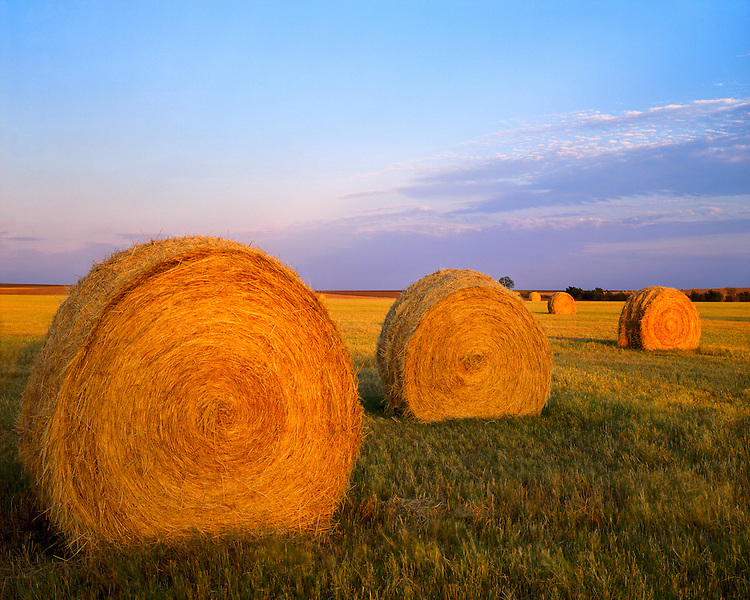 Sunset light on a field of hayrolls on a ranch in the Hill Country; Covington, TX
