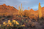 Tucson Mountain Park, Tucson, Arizona; the desert floor and mountainside covered in Saguaro cactus, Ocotillo and Prickly Pear cactus at sunset